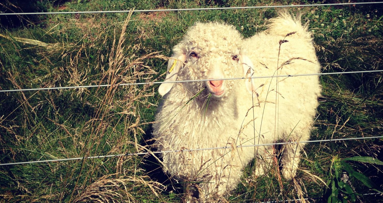 AAGBA  Angora Goats, Mohair, and Wool